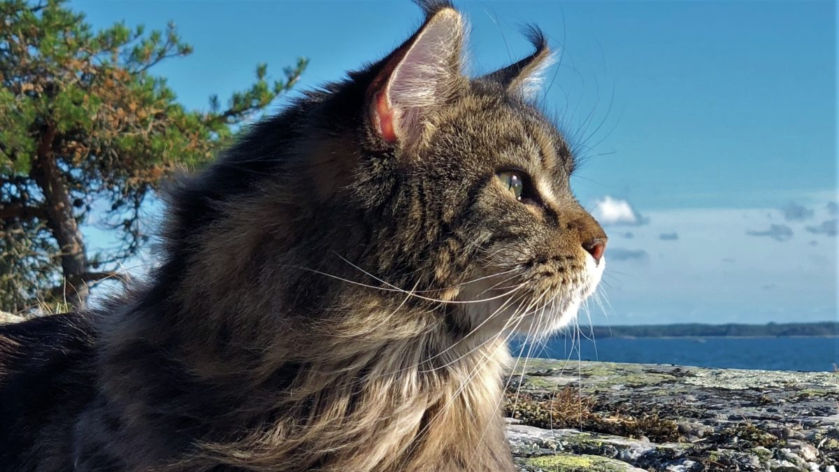 Wilma Maine Coon (Viola)